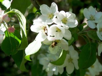 Bees in Crabapple blosom