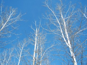 trees-and-blue-sky