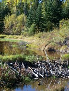 fall beaver dam
