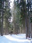 Ski Trail surrounded by tall trees