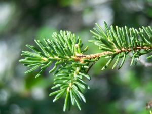Spruce Tree closeup of needles