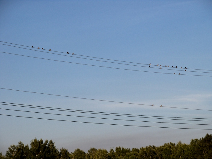 bank swallows on a wire