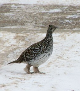 I took this photo of a spruce grouse in winter as it crossed our front yard and driveway.