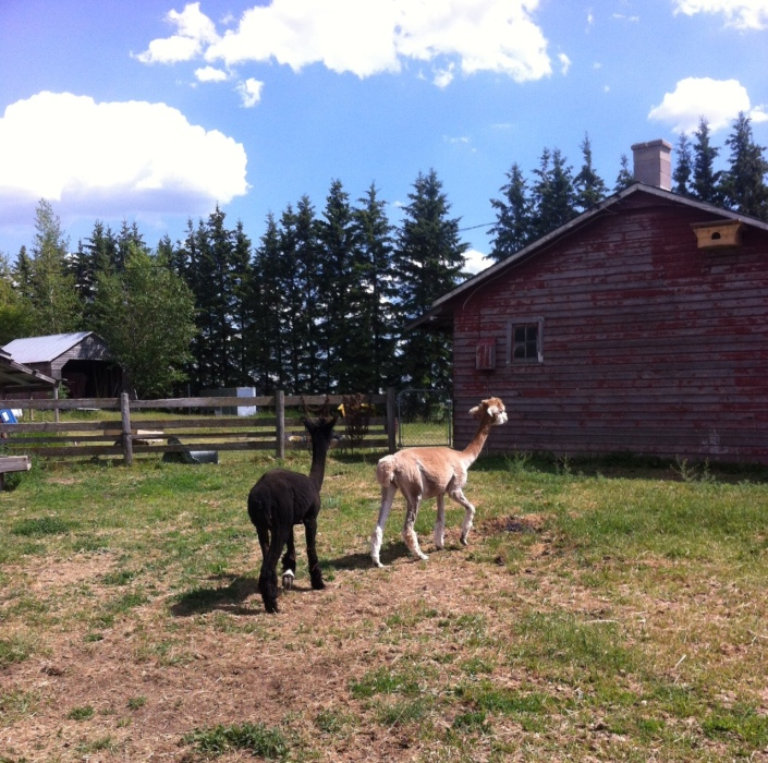 alpacas after shearing
