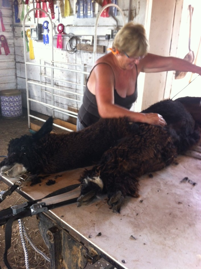 Fozzie being sheared