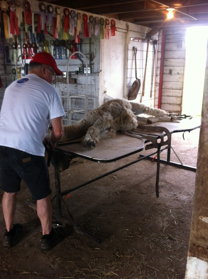 Uki being sheared